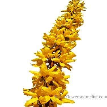 Forsythia hardy yellow flowers