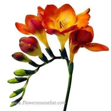 Freesia Orange Flower