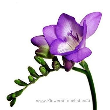 Freesia purple