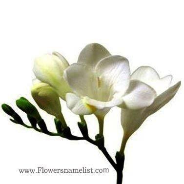Freesia white Flower