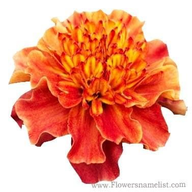 French marigold pink