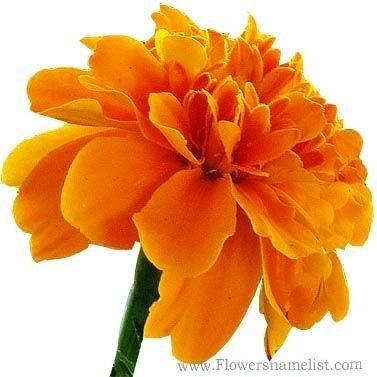 French marigold yellow