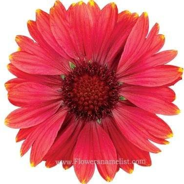 Gaillardia Arizona Red Shades Blanket Flower
