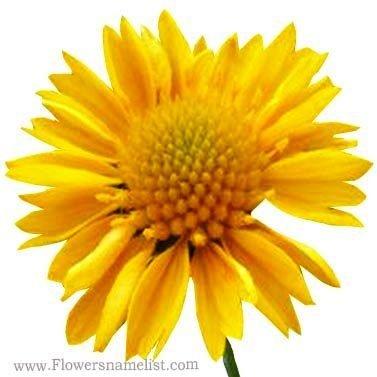 Gaillardia 'Gallo Yellow