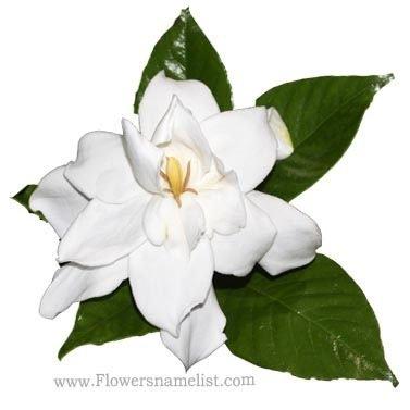 Gardenia jasminoides Double flower