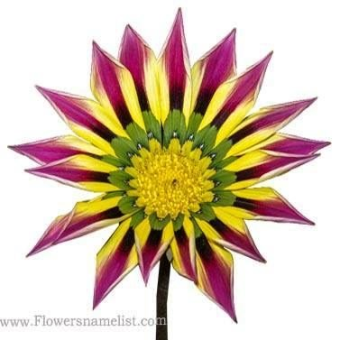 Gazania Pink Yellow Green