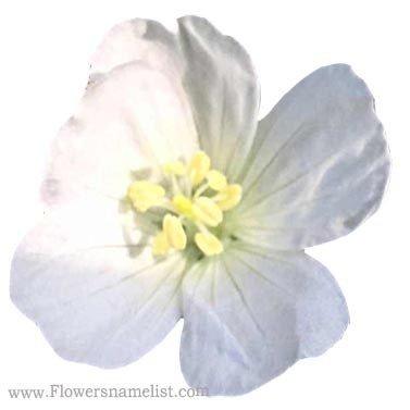 Geranium White True