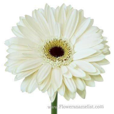 Gerbera Daisy Off White