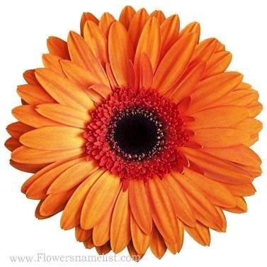 Gerbera Daisy Orange red