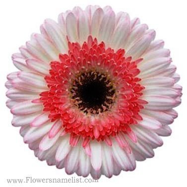 Gerbera Daisy White and Pink Super