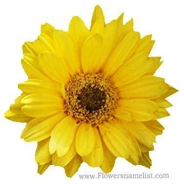 Gerbera jamesonii Yellow