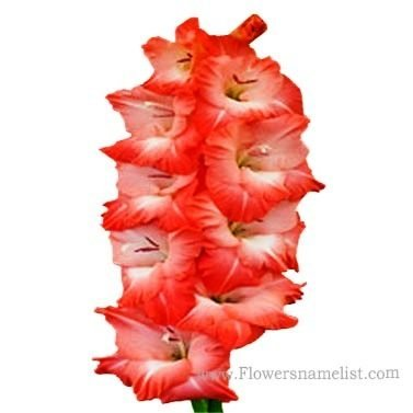 Gladiolus British