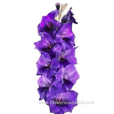 Gladiolus Deep Purple