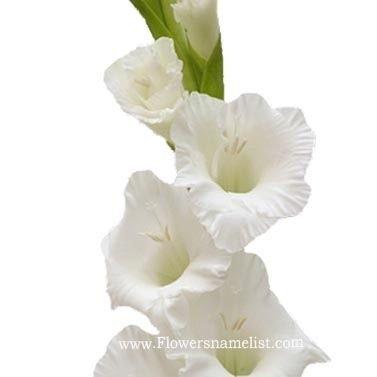 Gladiolus White