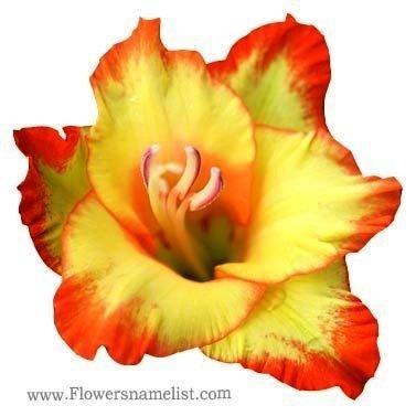 Glamorous Gladiolus