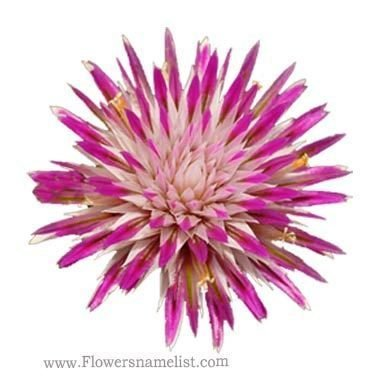 Gomphrena canescens, Pink Billy Button