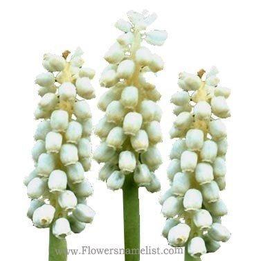 Grape Hyacinth White Magic