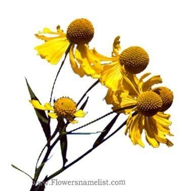 Helenium autumnale yellow