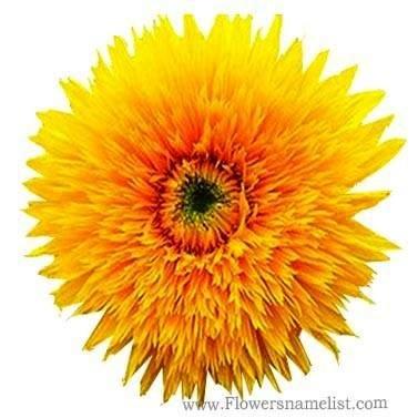 Helianthus annuus, Dwarf Double Sunflower