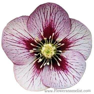 Helleborus 'Pink Fizz