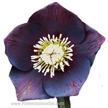Helleborus x METALLIC BLUE LADY
