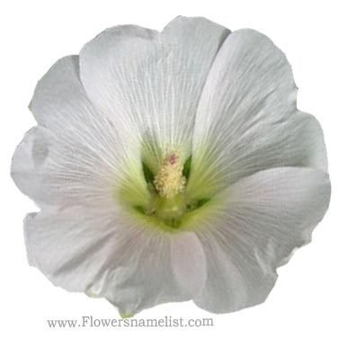 Hollyhock Pure White