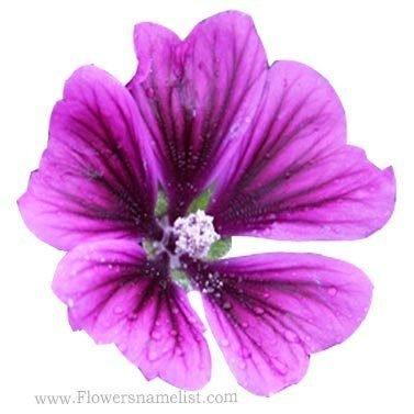 Hollyhock Purple
