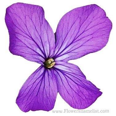 Honesty flower, lunaria annua