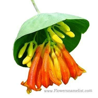 Honeysuckle Lonicera ciliosa Orange