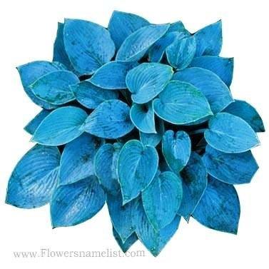 Hosta Blue Hawaii