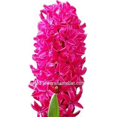 Hyacinth Red