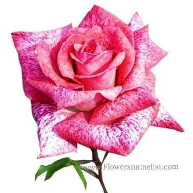 Hybrid Tea Rose pink