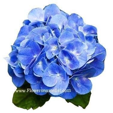Hydrangea Azure Blue Hortensia