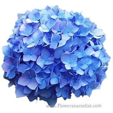 Hydrangea Glory Blue
