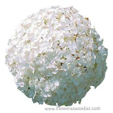 Hydrangea arborescens Annabelle enl