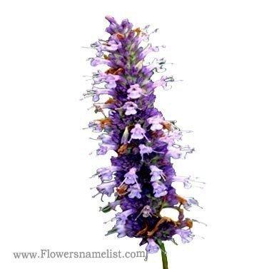 Hyssop white purple Anise