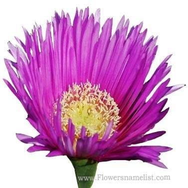 Ice Plant Flower, Lamprathus