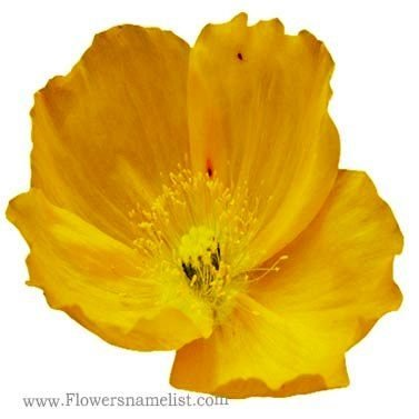 Iceland Poppy Yellow