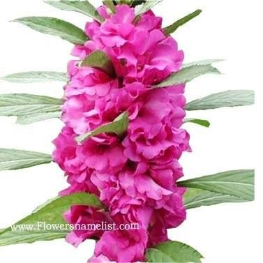 Impatiens Balsamina Scarlet pink