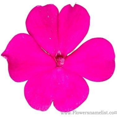 Impatiens balsamina violet