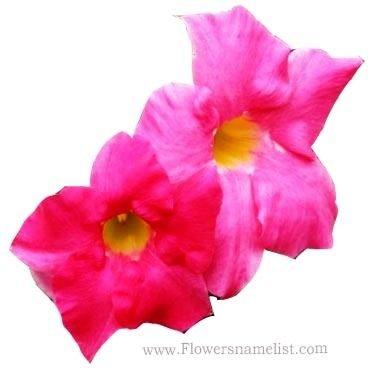 Incarvillea Trumpet Flowers