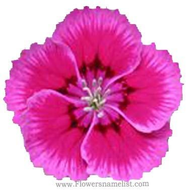 'Indian Pink Dianthus
