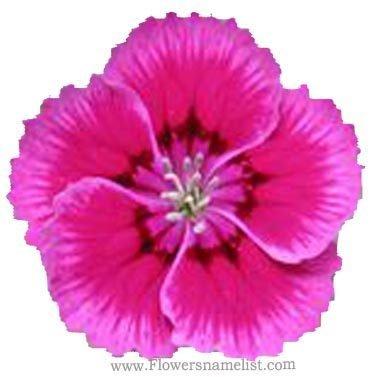 'Indian Pink Dianthus