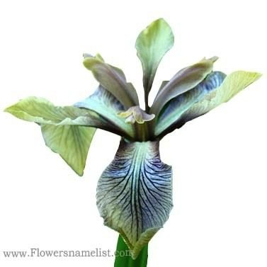 Iris Green Purple