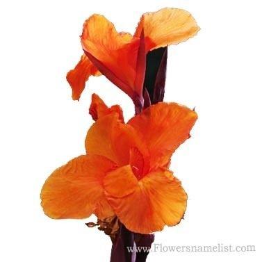 Iris Orange