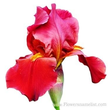 Iris Orchid Red