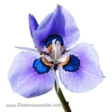 Iris Peacock