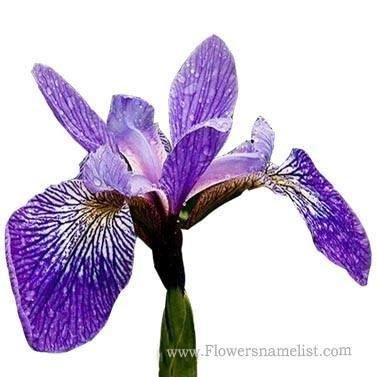 Iris Southern Blue Flag