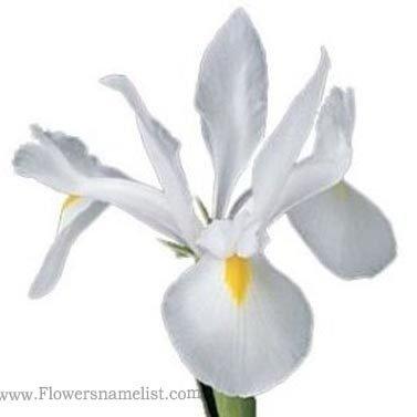 Iris White Blanca Flower