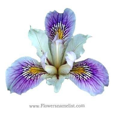 Iris White Flower
